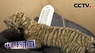 [中国新闻] 湖北荆州:全国首例虎狮虎兽宝宝出生 | CCTV中文国际
