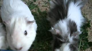 перуанские морские свинки