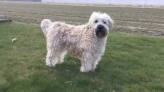 Irish soft coated Wheaten Terrier.