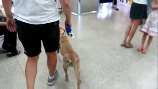 LadyBug (A1455363)  Freedom Walk out of Miami Dade Animal Shelter