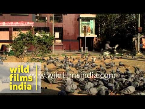 Flock of pigeons eat grain and pulses at a feeding square - Delhi