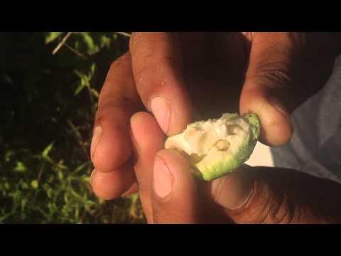 Kayu Lalat West Timor