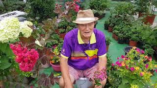 배롱나무 - 목백일홍의 삽목, 종자 번식, 재배, 관리…
