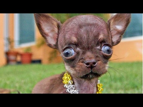 Funniest Chihuahua Dog Breeds Videos Compilation