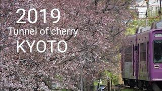 2019 京都の桜 開花状況 外国人観光客に人気のお花見スポット Kyoto cherry tree flowering situation Tunnel of Cherry trees