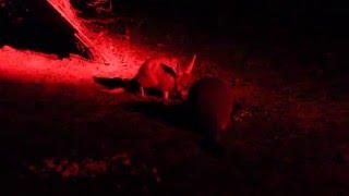 Bilby FAMILY + Possum + Bettongs interacting!- Western Australia