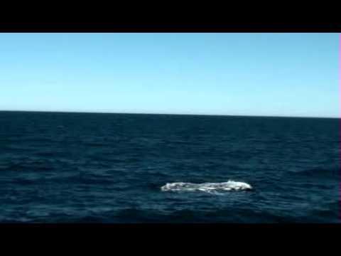 bryde's whale, calf breaching