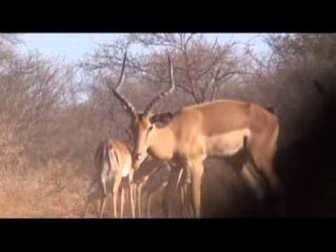 Motsomi Safaris South Africa Crossbow Hunting Impala Taylor