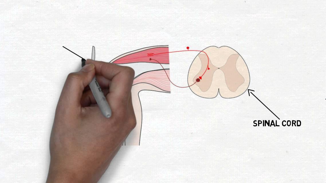 2-Minute Neuroscience: Knee-jerk Reflex