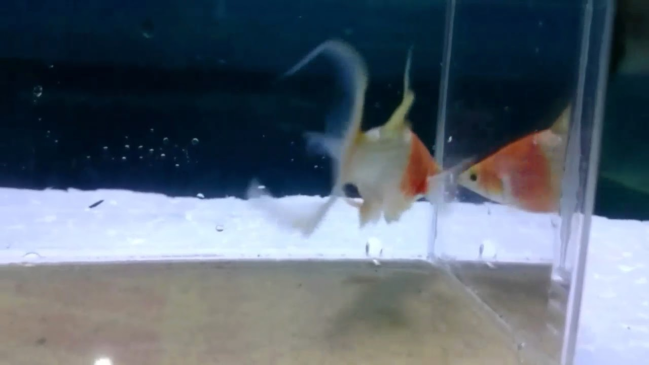 video Koi Molly Ornamental Fish