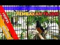 Tembakan Tajam Murai Batu Mafia Beras Kraton Dmk  Mp3 - Mp4 Download