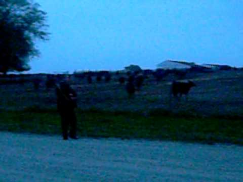 Cow Whisperer (in Nauvoo, Illinois)