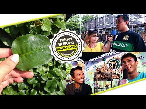 Download Lagu SUARA BURUNG : Kenari Huru Hara Ngedur Panjang di KM JATIM CUP