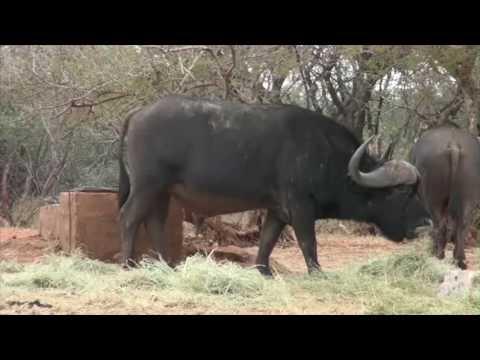 Ron Cape Buffalo Hunt