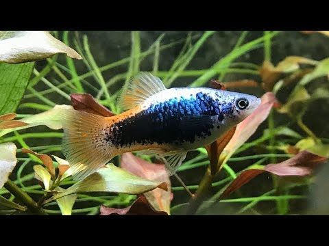 Platy Fish - All Information You Want To Know | Animal Beast