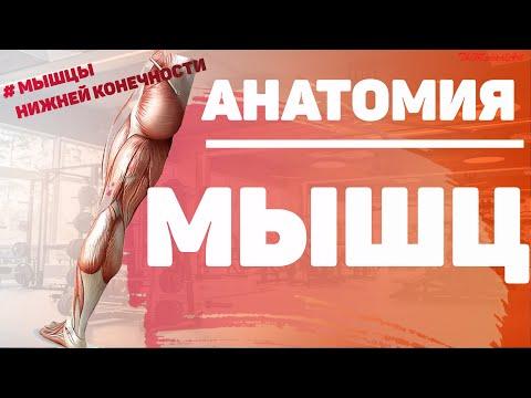 Мышцы ноги / Мышцы нижней конечности / Анатомия мышц нижней конечности /  МИОЛОГИЯ /