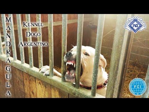 Dogo Argentino ferocious
