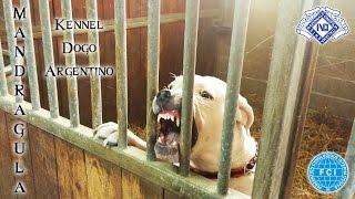 Dogo Argentino ferocious with Strangers - Mandragula Kennel Dogo Argentino
