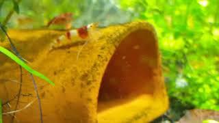 самец и самка разукрашенного рака. Соседство креветок и рыбок в аквариуме