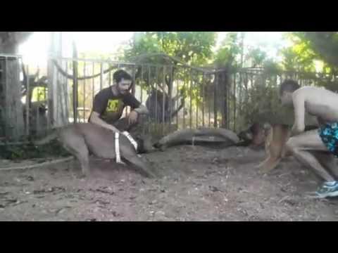 X TREME TUG OF WAR German Shepherd vs pitbull