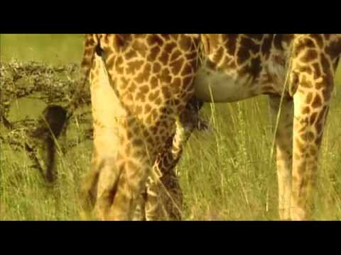 Thumbnail: Giraffe the immpossible animal 5of5.mp4
