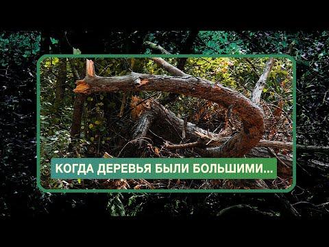 НТС Севастополь: Вторая за неделю вырубка деревьев в Севастополе возмутила Развожаева