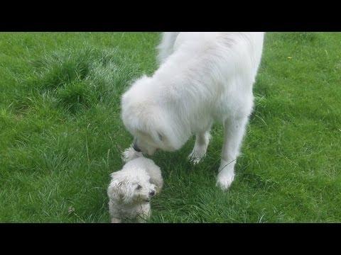 Pyrenean Mountain Dog Yogi with Bichon Frise Pepper.