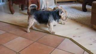Norfolk Terrier Playing At Home