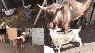 Zocha do ogiera oraz kozy