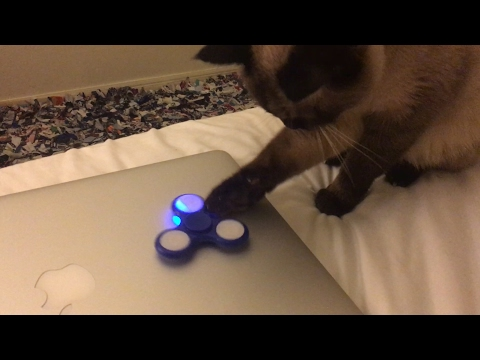 My Siamese Cat Reacting to Fidget Spinners!