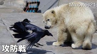 Polar Bear got fish, corn, watermelon. 2 crows came to near. Polar ...