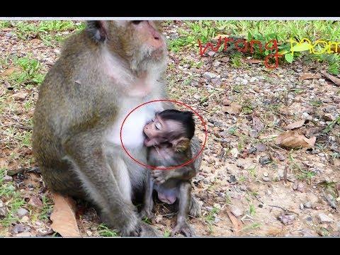 A cute baby wrong milk with grandma, How so fun cute baby monkey Bree! Bree hungry milk