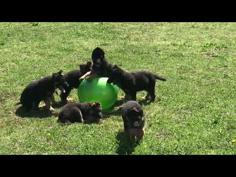 Play ball (Blu x Ava 2018) 10 wks puppies for sale