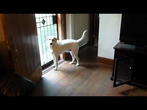 Yellow Lab Pup Happy to See Mom!