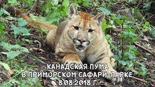 КАНАДСКАЯ ПУМА В ПРИМОРСКОМ САФАРИ-ПАРКЕ. 8.08.2018 Г.