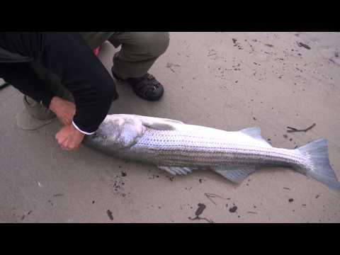 """47"""" 40 pound Striped bass Fishing top water plugs Crane Beach Ipswich MA july 2013"""