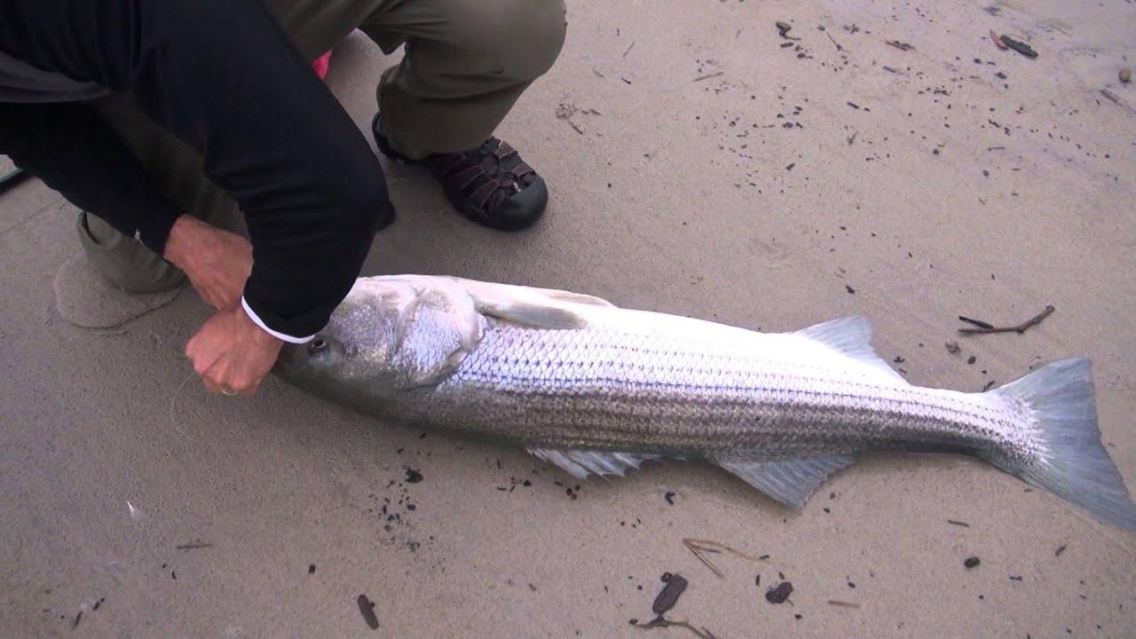 47 40 Pound Striped B Fishing Top Water Plugs Crane Beach Ipswich Ma July 2017 You