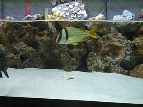 Atlantic Porkfish