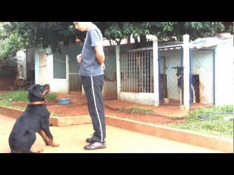 Adestramento Rottweiler Mike - 1° Mês