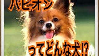 ペットで犬を飼おうと迷っている方へ〜パピオン〜 世の中には様々な犬種...