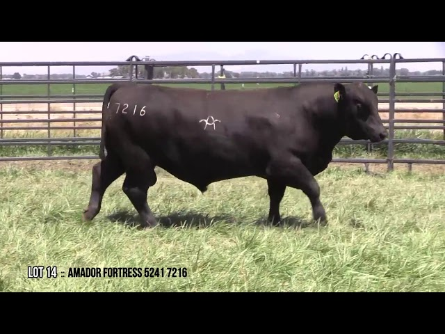 Mid Valley Bull Sale Lot 14