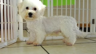 Bichon Frise, Puppies, For, Sale, In, Denver, Colorado, Co, Fort Carson, Black Forest, Welby, Greenw