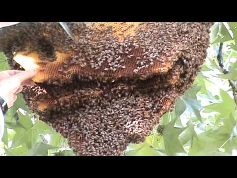 How to Get Rid of Bee's Nest in House, Wall, or Yard Naturally