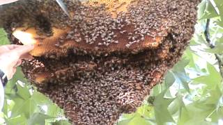 Successful Bee Hive Removal