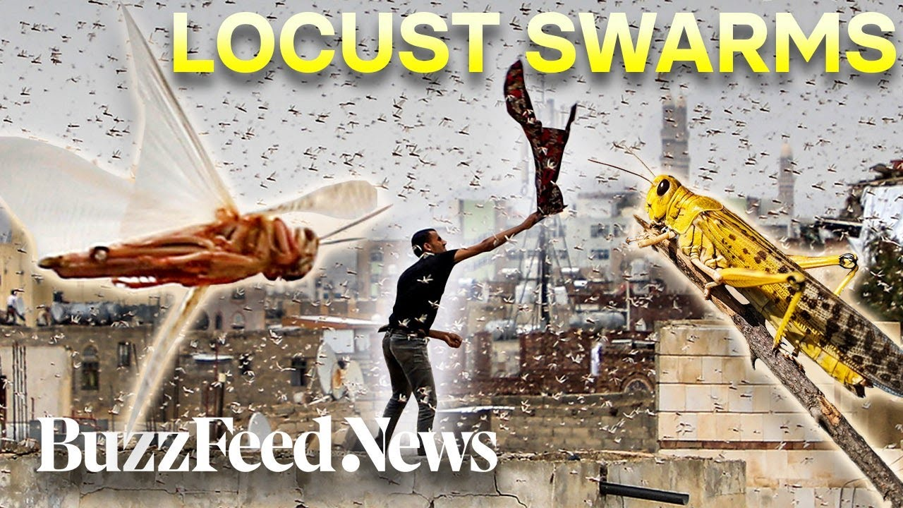 Billions Of Locusts Are Swarming East Africa - YouTube
