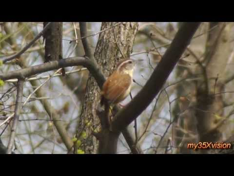 Song of a Carolina Wren ~ April 2013 ( in HD )