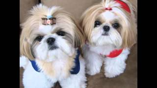 Собаки Ши-Тцу.