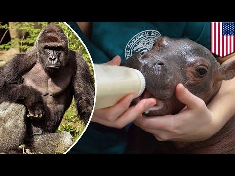 Fiona the hippo: Cincinnati Zoo director to pen book on baby hippo, moves past Harambe - TomoNews