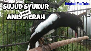 Download Lagu Kacer tarung gaya sujud - nagen - buka ekor - emosi - kacer giras mp3