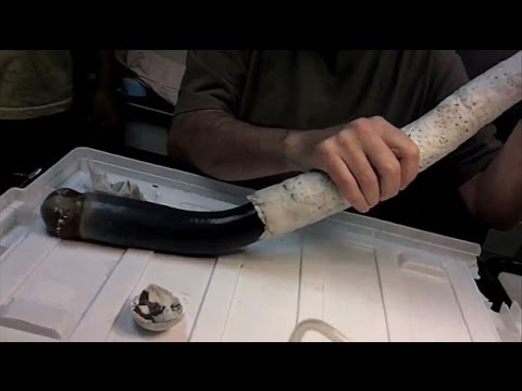 Scientists extract rare giant shipworm from shell in toe-curling video